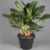 Aglaonema Key Lime foto
