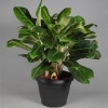 Aglaonema King of siam foto