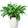 Aglaonema Mary Ann foto