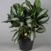 Aglaonema Pattaya Beauty foto